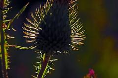Gewöhnliche Kratzdistel (Cirsium vulgare) im Gegenlicht