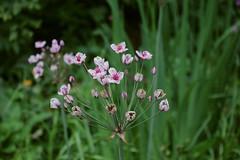 Butomaceae - Zwanenbloem