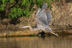 heron on the Grand River 1B