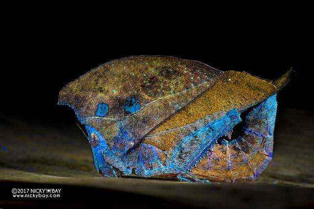 Dead leaf grasshopper (Caelifera) - DSC_8024