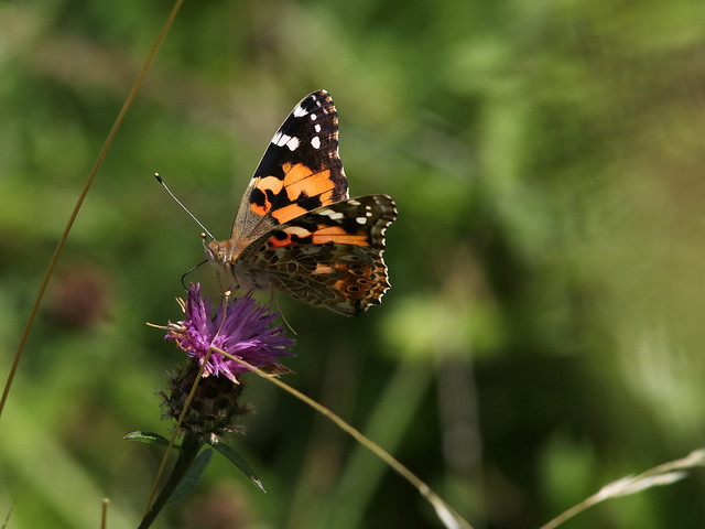 PAINTED LADY 4 110817, Canon EOS 80D, Canon EF 300mm f/4L IS