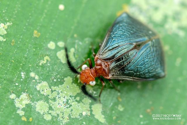 Barklouse (Psocoptera) - DSC_8669