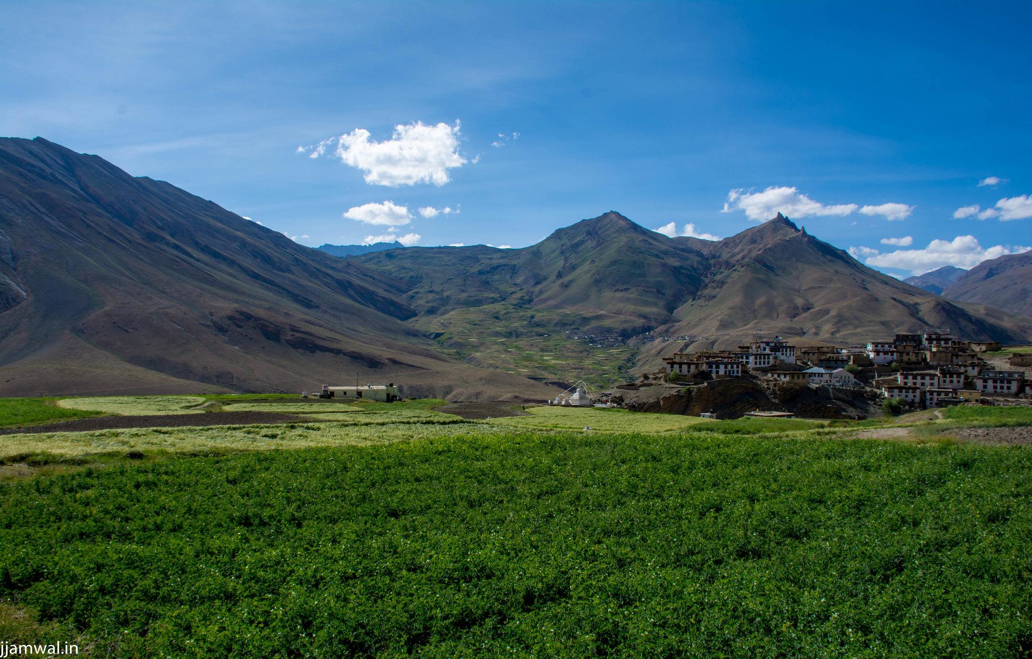 Pea fields in Kibber