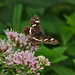 Map butterfly (summer brood)
