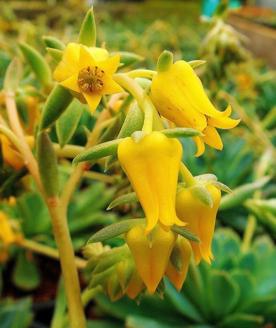 flor de suculenta