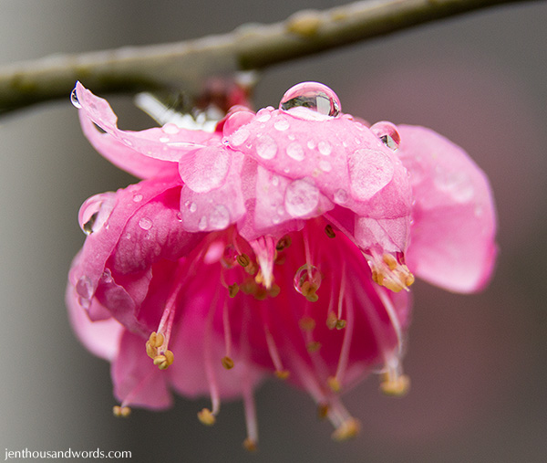 Blossoms after the rain 10