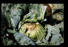 Cabbage Soft Rot = キャベツの軟腐病