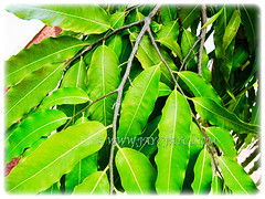 Polyalthia longifolia (False Ashoka, Buddha Tree, Mast Tree, Indian/Weeping Mast Tree) produces beautiful lanceolate leaves with undulate margins, 1 Aug 2017