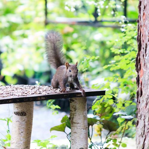 squirrel リス animal 動物 obihiro 帯広 hokkaido 北海道 japan 日本 manabegarden 真鍋庭園