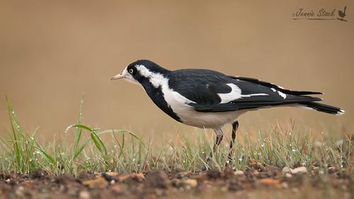 Magpie-lark foraging