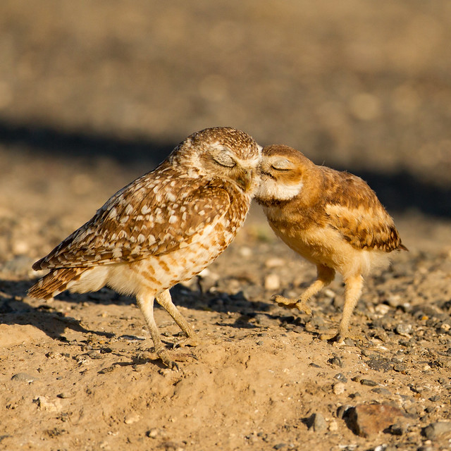 Burrowing Owls, Canon EOS 7D, Canon EF 500mm f/4L IS