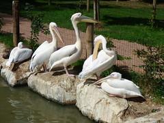Cerza Zoo - pelicans