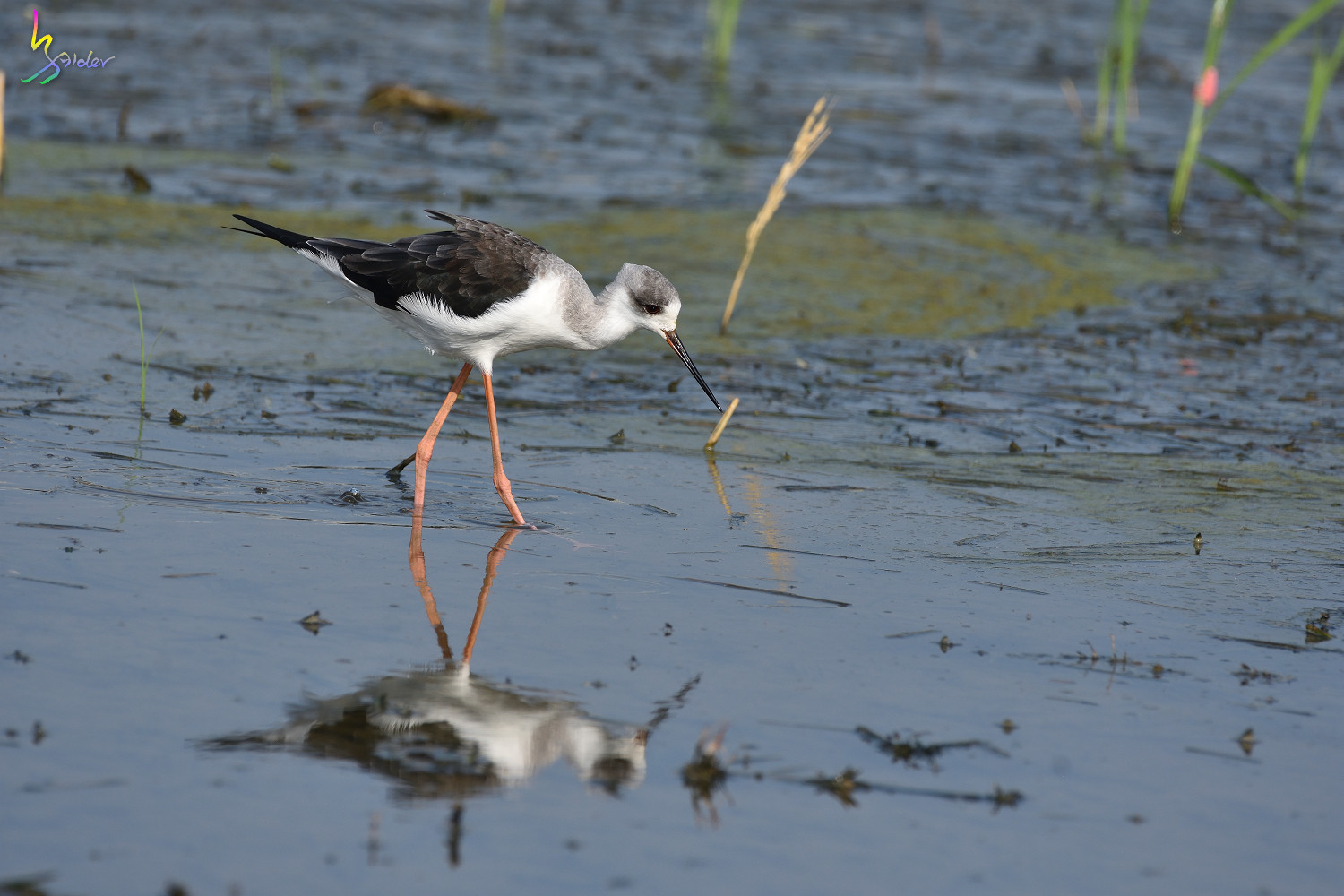 Black-winged_Stilt_9140