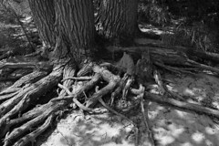 """""""A tree without roots is just a piece of wood.""""  ― Marco Pierre White"""