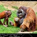 Orangutan of Borneo, Pongo Pygmaeus by __Viledevil__