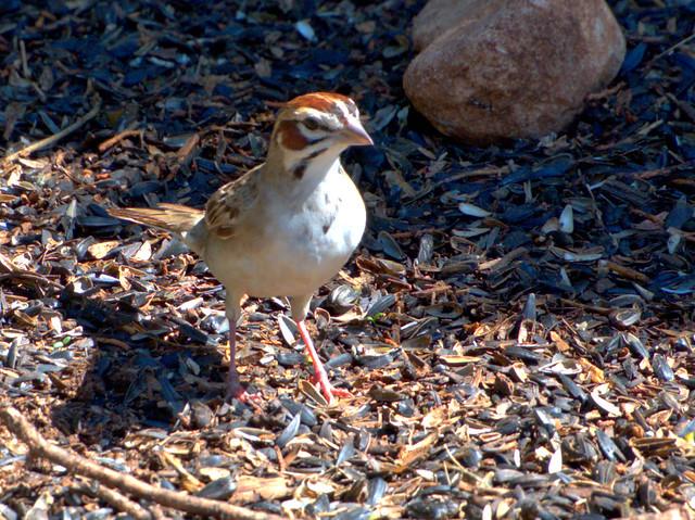 Lark Sparrow 01-20170814