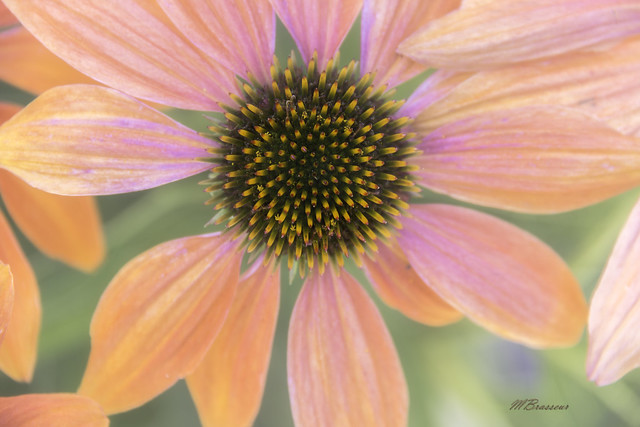 Echinacea, Canon EOS REBEL T5I, Canon EF-S 18-200mm f/3.5-5.6 IS
