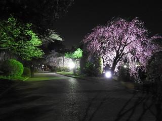 千葉公園綿打池 夜桜ライトアップ13