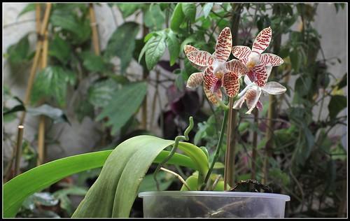 Phalaenopsis sumatrana (South Thailand) 36901305845_a3878f3e79
