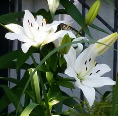 Daylilies Australia