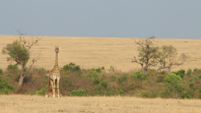 Giraffe_1