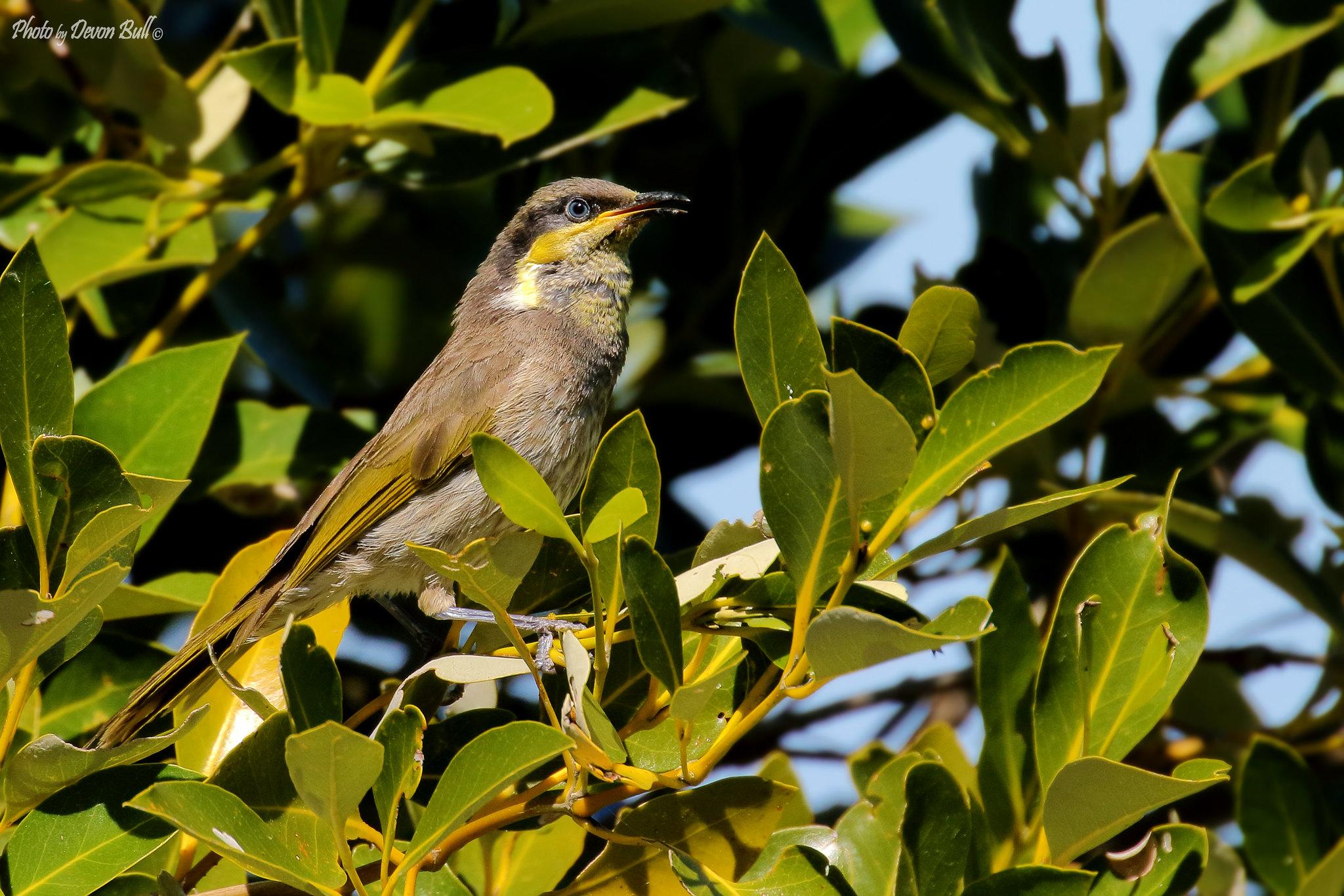Mangrove Honeyeater