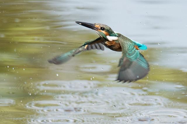20170910-kingfisher-DSC_2729