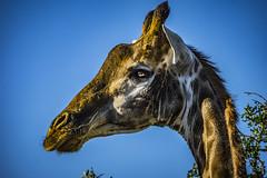 Giraffe - Shamwari Game Reserve - South Africa
