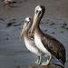 A Pair of Pelicans by kate willmer