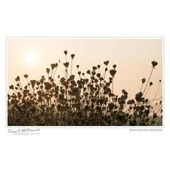 Queen Anne's Lace, Morning Sun