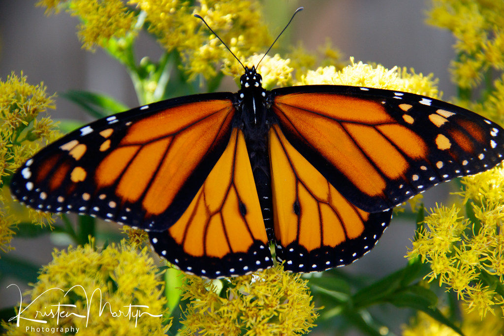 Monarch Butterfly (Danaus plexippus)- Male