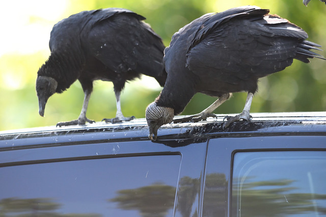 Black Vulture's taste for rubber