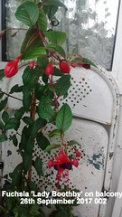 Fuchsia 'Lady Boothby' on balcony 26th September 2017 002