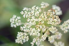 garden flowers IMG_7055