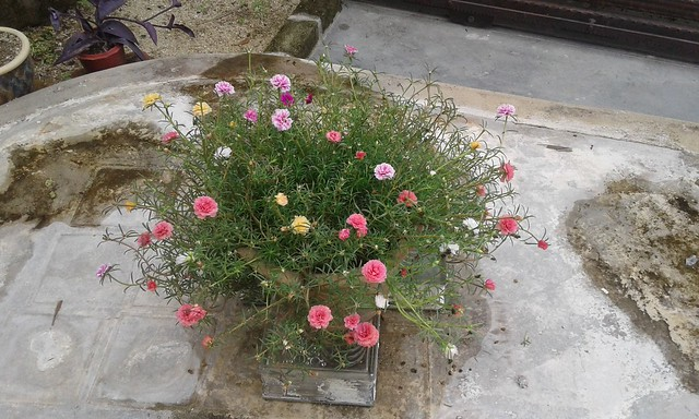 Japanese rose plant 3