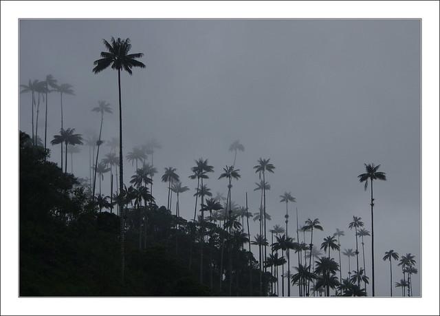 Palmiers à cire du Quindio / Salento - Colombie