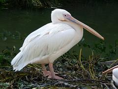 Cerza Zoo - pelican
