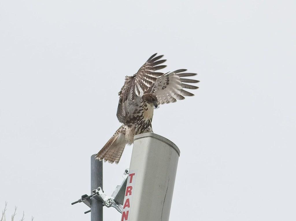Tompkins fledgling #1