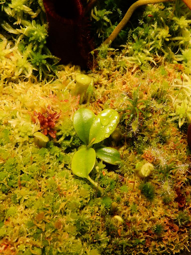 Nepenthes villosa Wistuba Clone
