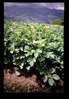 'esperanza' F. Cultivar Of Potato = バレイショ、F.品種の収穫、'エスペランサ'