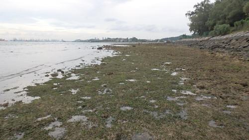 Sickle seagrass (Thalassia hemprichi)