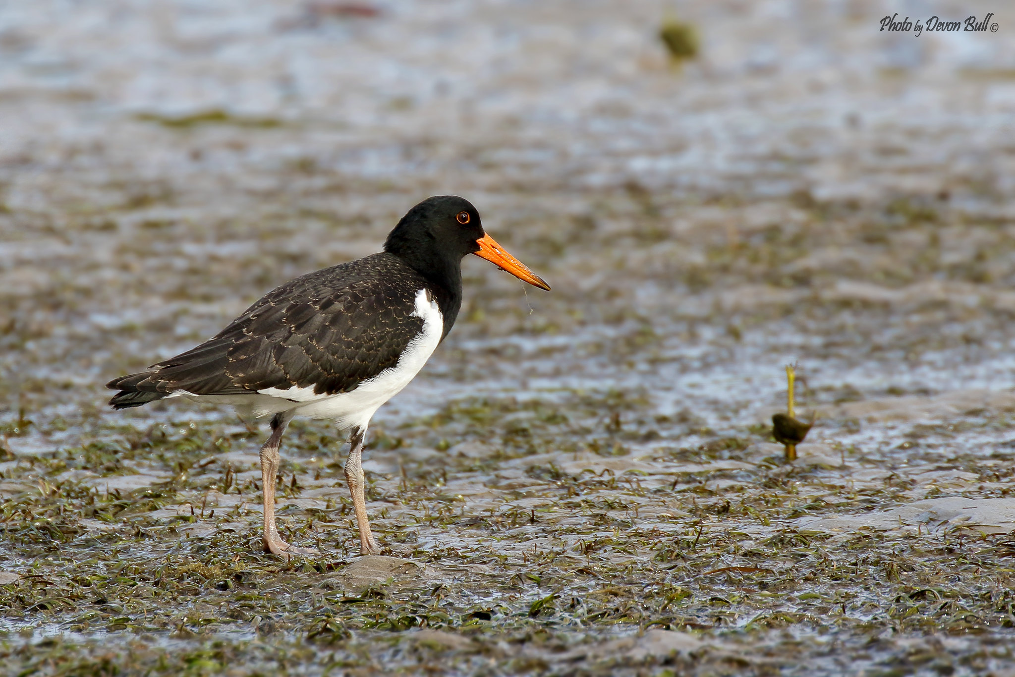 Young Pied Oystercatcher