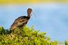 Glossy Ibis by Greg Gard