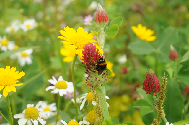 Inkarnat-Klee Trifolium incarnatum, Nikon D300, AF-S DX Zoom-Nikkor 18-70mm f/3.5-4.5G IF-ED