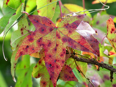 august leaf