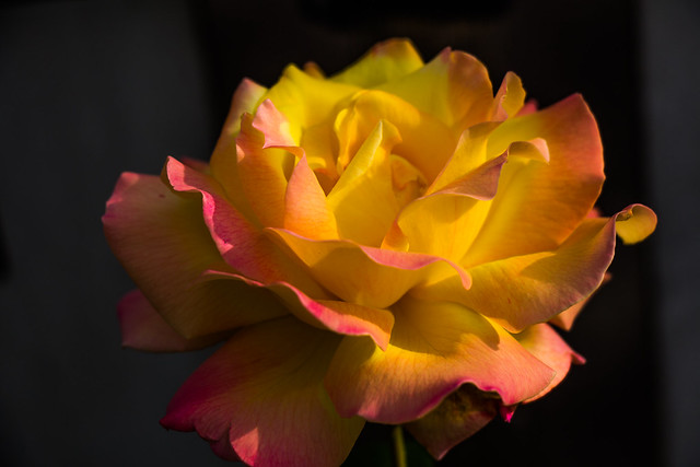 Königin der Blumen, Canon EOS 700D, Canon EF-S 18-135mm f/3.5-5.6 IS STM