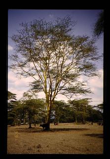 Shade Tree = 日陰樹
