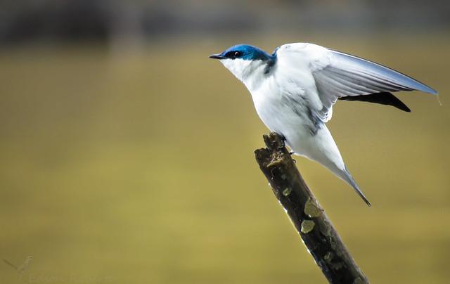 andorinha-do-rio (Tachycineta albiventer) White-winged Swallow