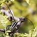 Long-Horned Beetle B306987focPr por jvpowell