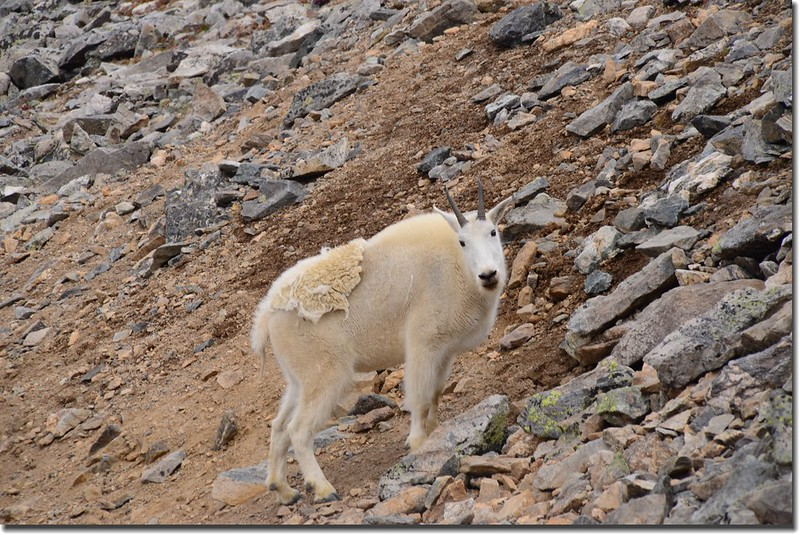 Mountain Goat (1)